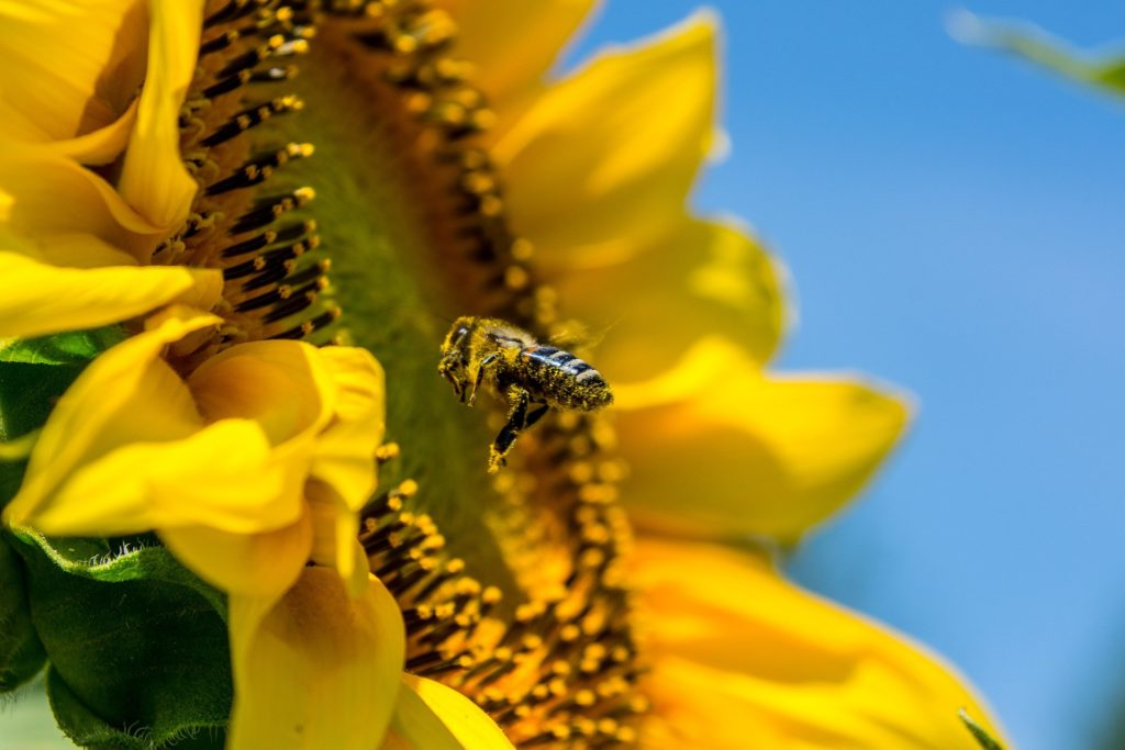 Bees before pesticides, campaigners say